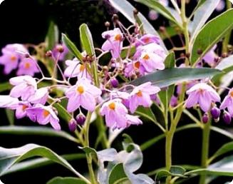 Solanum malacoxylon